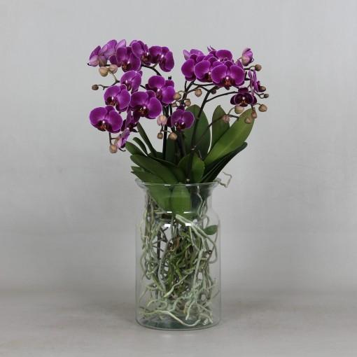 Phalaenopsis ANTHURA MORELIA (Leerdam Orchideeën)