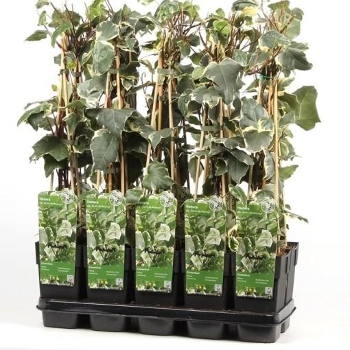 Hedera algeriensis 'Gloire de Marengo' (Hoogeveen Plants)