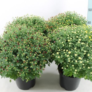 Chrysanthemum MIX IN POT (Bas van der Wilt)