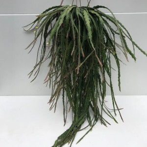 Rhipsalis cruciformis