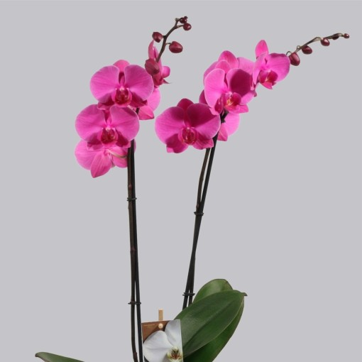Phalaenopsis EVOLUTION (Duijn-Hove B.V. , Kwekerij)
