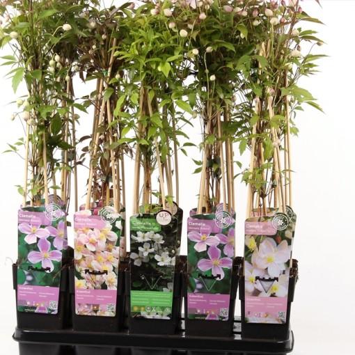 Clematis MONTANA MIX (Hoogeveen Plants)