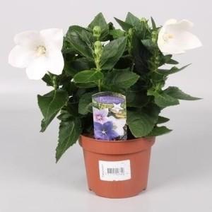 Platycodon grandiflorus 'Astra White' (Endhoven Flowering Plants)