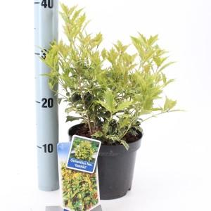Osmanthus heterophyllus 'Goshiki' (About Plants Zundert BV)