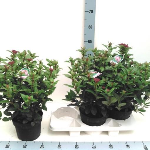 Viburnum tinus (Experts in Green)