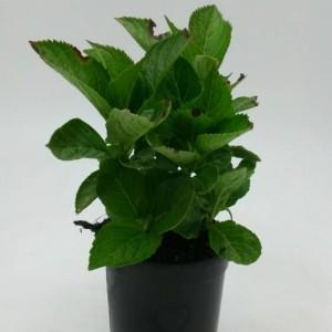 Hydrangea macrophylla 'Nikko Blue' (WTM de Boer)