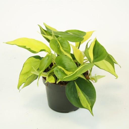 Philodendron scandens 'Brasil' (Kap Scindapsus)