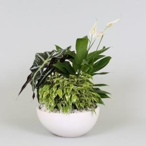 Arrangements Spathiphyllum