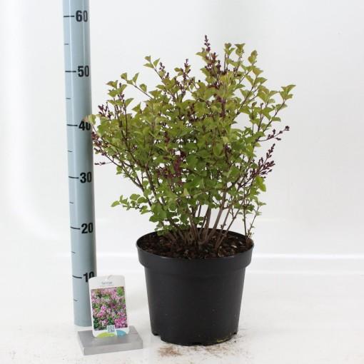 Syringa meyeri 'Palibin' (About Plants Zundert BV)