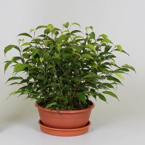 Ficus benjamina 'Natasja' (Groot BV, Kwekerij J. de )