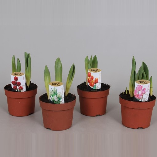 Tulipa PARROT MIX (Amstelzicht BV)