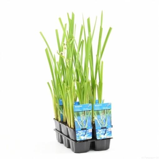 Sparganium erectum (Moerings Waterplanten)