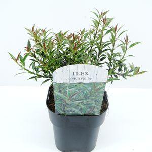 Ilex aquifolium 'Myrtifolia' (Hooftman boomkwekerij)