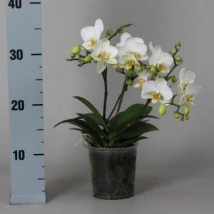 Phalaenopsis LAUSANNE