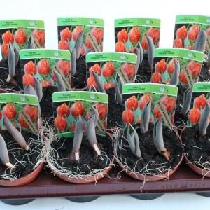 Tulipa 'Red Princess' (Gebr. Straathof)