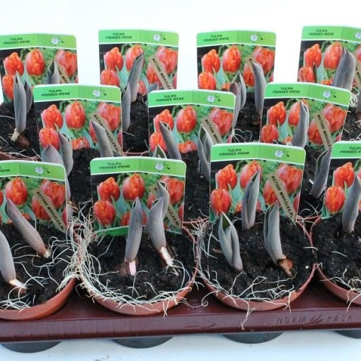 Tulipa 'Red Princess' (Gebr. Straathof)