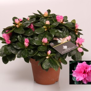 Rhododendron 'Rose Vogel'