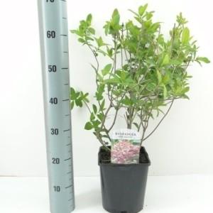 Hydrangea paniculata 'Pink Diamond' (Hooftman boomkwekerij)