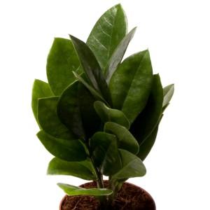 Zamioculcas zamiifolia 'Supreme'