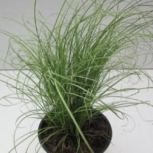 Carex comans 'Mint Curls'