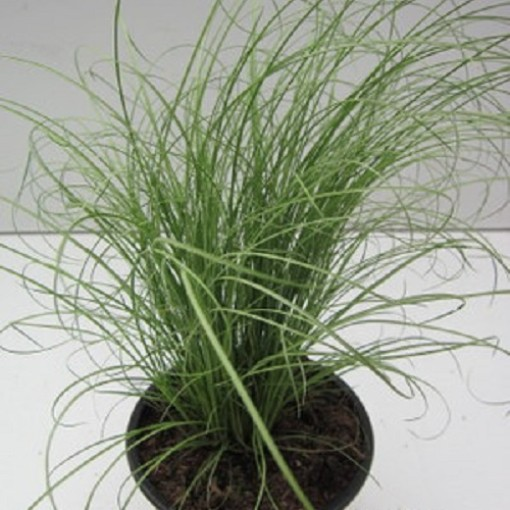 Carex comans 'Mint Curls' (Experts in Green)