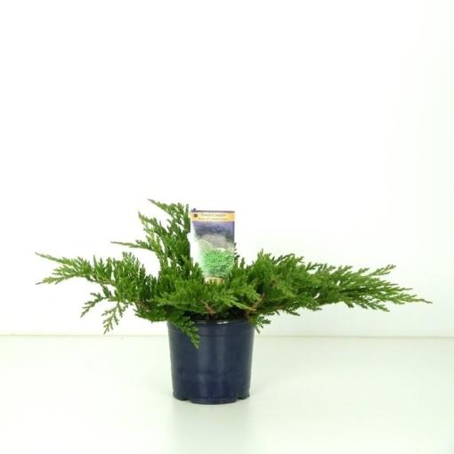Juniperus horizontalis 'Prince of Wales' (Vredebest, Kwekerij )