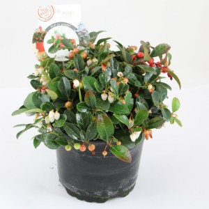 Gaultheria procumbens BIG BERRY (Special Plant Zundert)