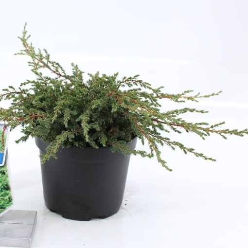 Juniperus communis 'Repanda' (About Plants Zundert BV)