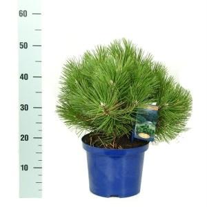 Pinus nigra 'Nana' (Vredebest, Kwekerij )