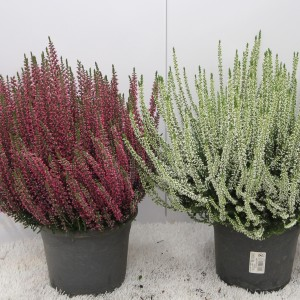 Calluna vulgaris BEAUTY LADIES MIX