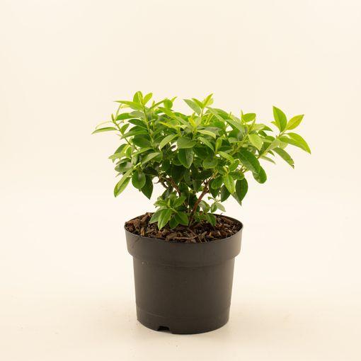 Rhododendron 'Praecox' (Dool Botanic)