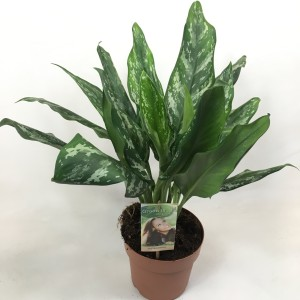 Aglaonema 'Silver Splash'