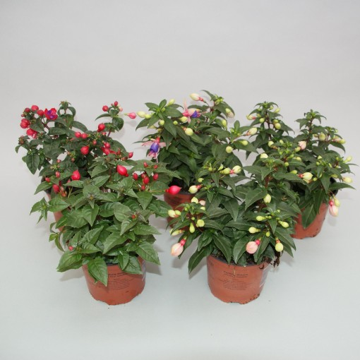 Fuchsia BELLA FUCHSIA UPRIGHT MIX (Gebr. Grootscholten)