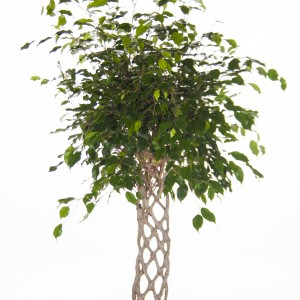 Ficus benjamina 'Exotica' (Ammerlaan )
