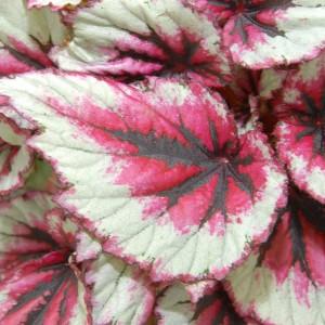 Begonia BELEAF EVENING GLOW (Berghoef Plants)