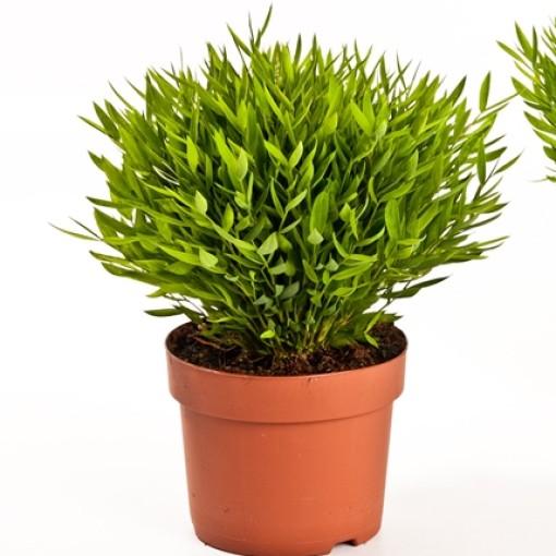 Pogonatherum 'Monica' (Bunnik Plants)