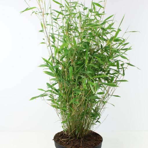 Fargesia murielae (FlorAmor)
