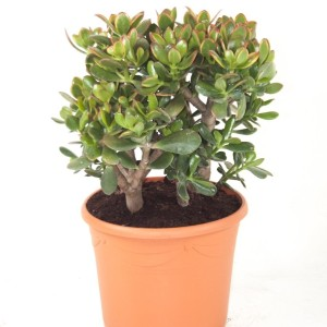Crassula ovata 'Sunset'