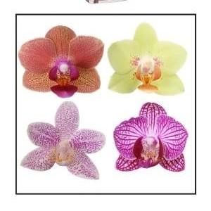 Phalaenopsis MULTIFLORA MIX (Ter Laak Orchids Multiflora)