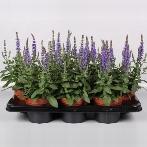 Salvia nemorosa SENSATION SKY BLUE