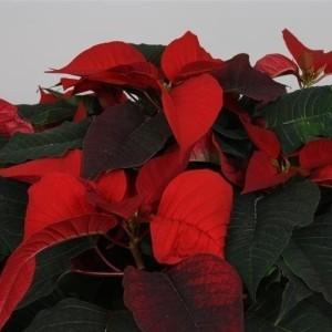 Euphorbia pulcherrima CHRISTMAS FEELINGS (Peeters Potplanten)