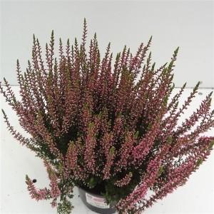 Calluna vulgaris GARDEN GIRLS ROSITA (About Plants Zundert BV)