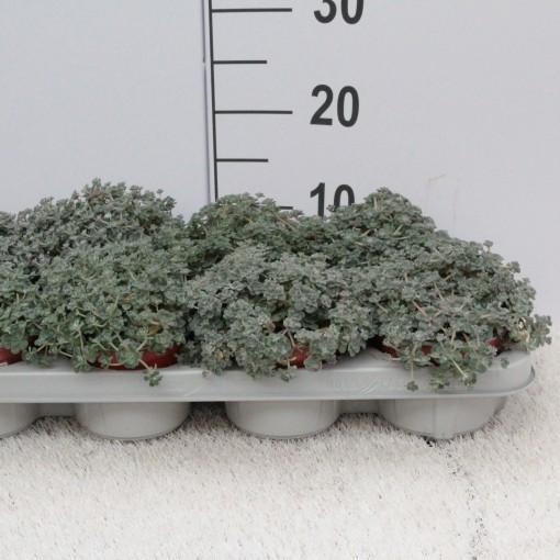 Sedum spathulifolium 'Cape Blanco' (Experts in Green)