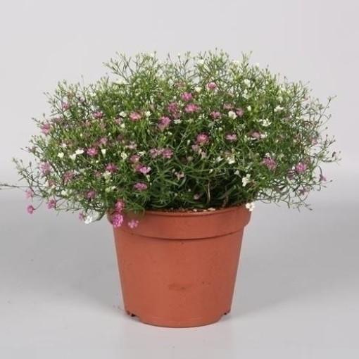 Gypsophila muralis MIX IN POT (Endhoven Flowering Plants)