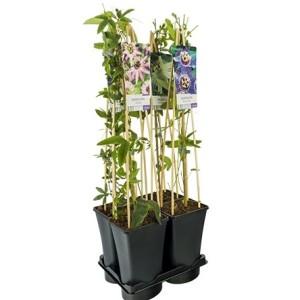 Passiflora MIX (Van Der Starre BV)