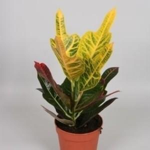 Codiaeum variegatum 'Excellent'
