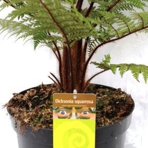 Dicksonia squarrosa (Ruhé Varens B.V.)