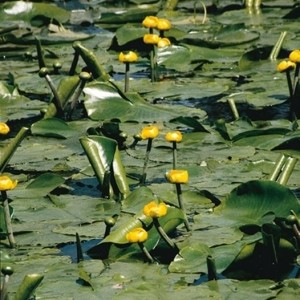 Nuphar lutea (Moerings Waterplanten)