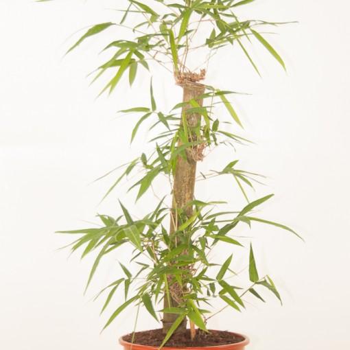 Bambusa vulgaris (Ammerlaan, The Green Innovater)