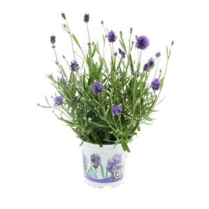 Lavandula angustifolia 'Thumbelina Leigh'